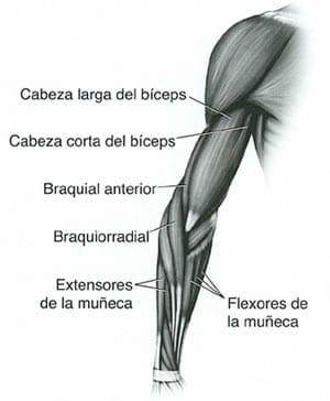 anatomia biceps