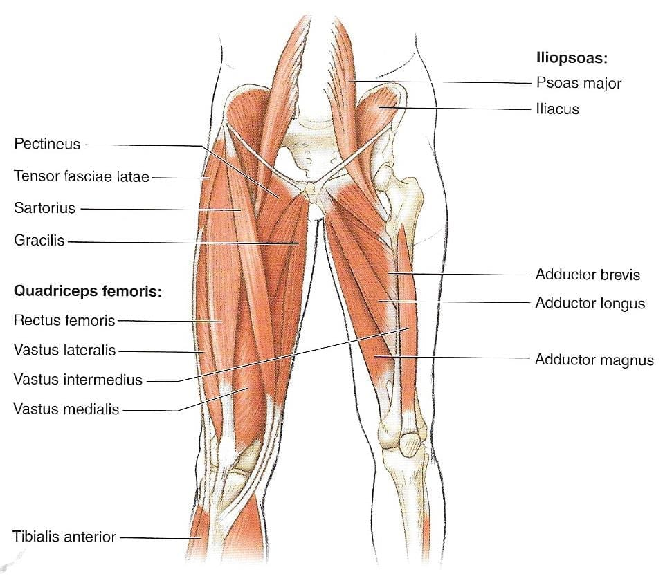 Anatomía de la cadera