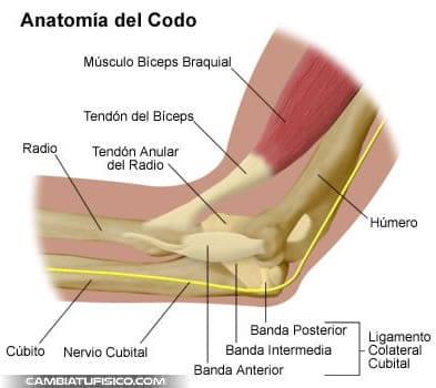 anatomia-codo