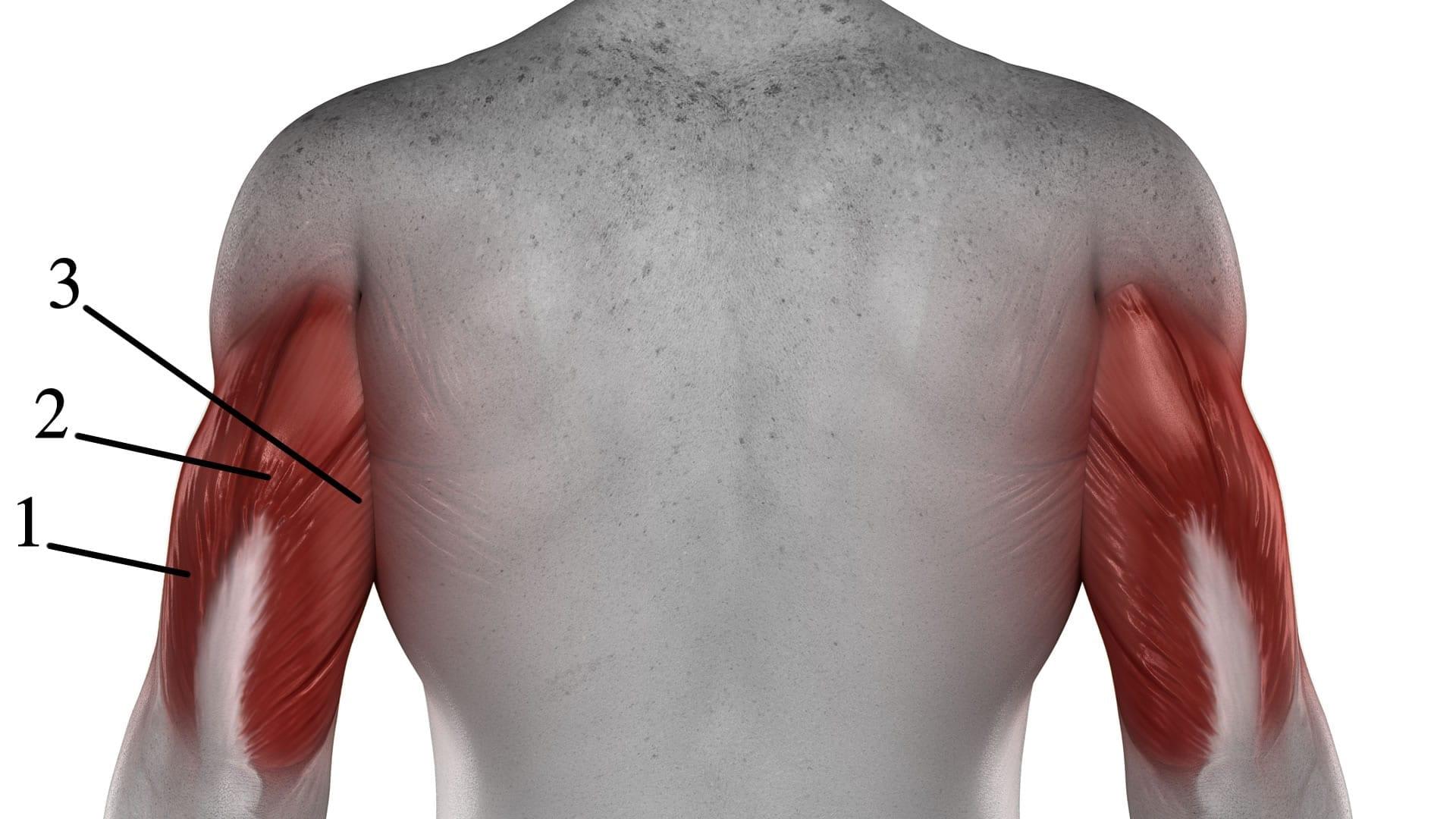 Anatomía del tríceps | Cambiatufisico