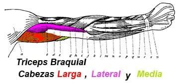 Cabezas del Tríceps