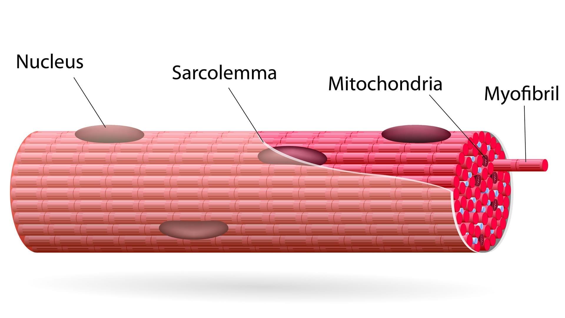 Tipos de fibras musculares   Cambiatufisico