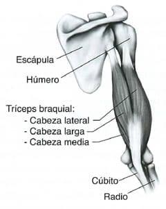 rutinas triceps