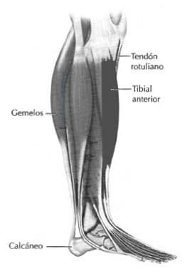 Anatomía de la tibia